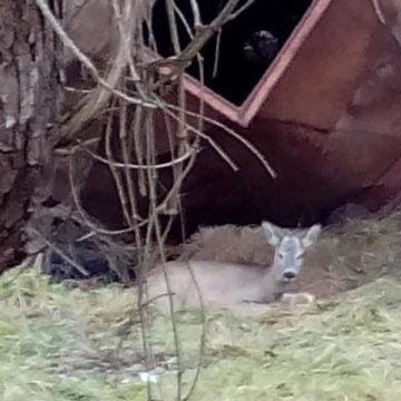 Un pui de căprioară a murit la câteva ceasuri după ce ar fi fost lovit de o mașină