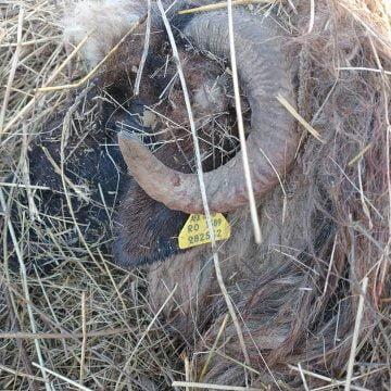 FOTO: Ursul a coborât și în Nușeni și s-a hrănit dintr-o turmă de 200 de oi