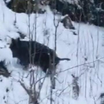 VIDEO – SUPERB: Peste 20 de pui de mistreți, surprinși în zăpadă, în Munții Rodnei