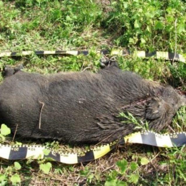 Pesta porcină nu a afectat încă porcii domestici. Câți mistreți vor fi omorâți: