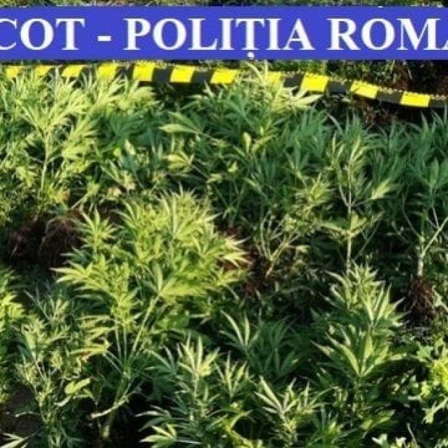 12 traficanți de cannabis reținuți! Ce s-a găsit în urma perchezițiilor de ieri: