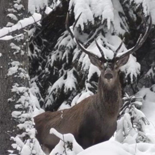 """VIDEO – Imagini spectaculoase din Parcul Național Călimani! Cum stă un cerb """"la pozat"""""""