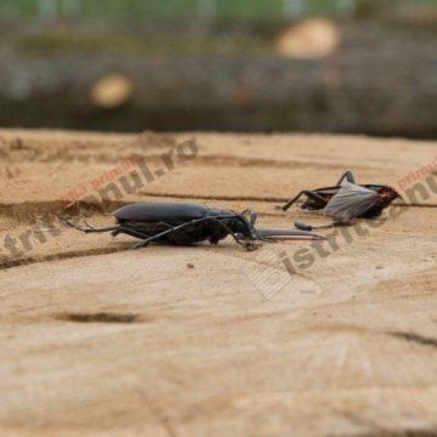 S-au tăiat patru stejari seculari din Schullerwald! A fost ucisă și o specie de insectă protejată de lege