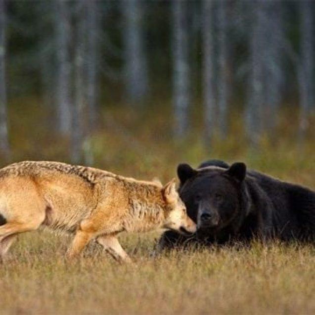 Ministerul Mediului a anunțat câți urși și lupi pot fi uciși în județul nostru