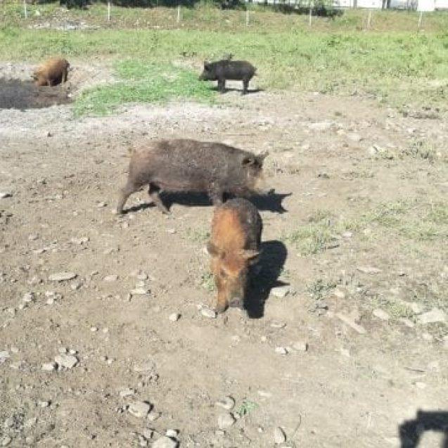 FOTO/VIDEO – Porcii cu păr creț, crescuți la doi pași de Bistrița, l-au impresionat pe ministrul Agriculturii